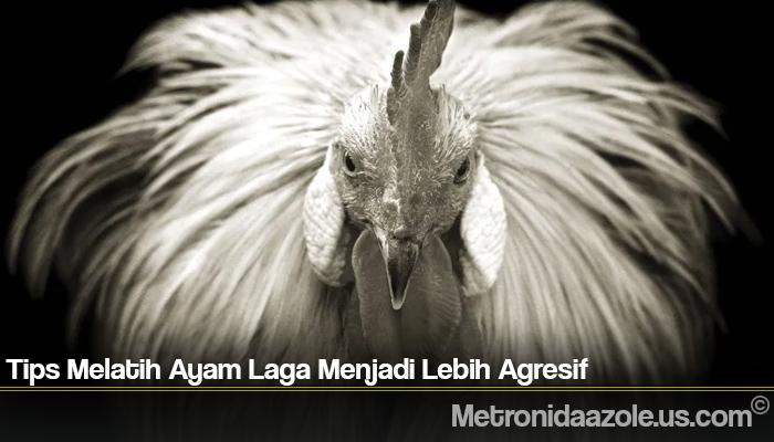 Tips Melatih Ayam Laga Menjadi Lebih Agresif