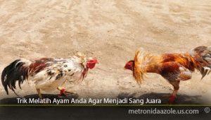 Trik-Melatih-Ayam-Anda-Agar-Menjadi-Sang-Juara